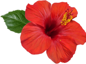 hibiscus flower hair loss growth herb