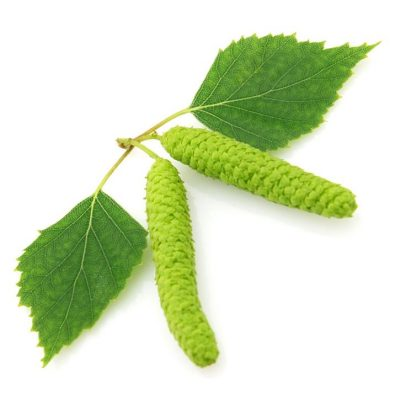 Betula Alba Extract hair loss growth herb